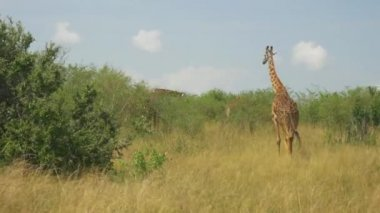 Giraffes in African savannah — Stock Video