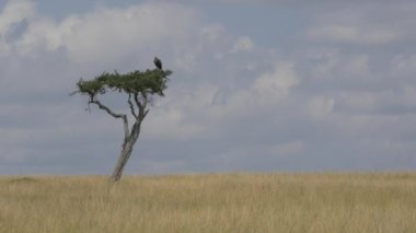 Vulture sitting on a solitary tree — Stock Video