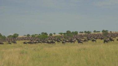 Wildebeest migration — Stock Video