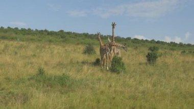 Zürafalar savannah ortasında — Stok video