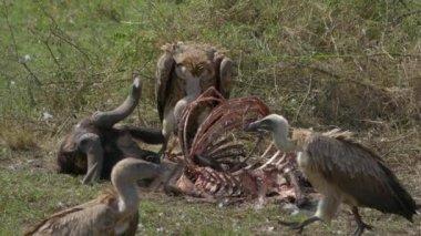 Vultures feeding on a buffalo carcass — Stock Video