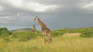 Žirafy — Stock video