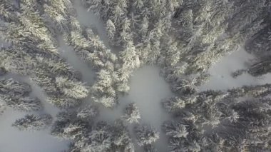 Snowy pine forest in winter — Stock Video