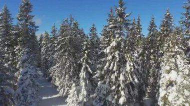 Sunny spruce forest after heavy snowing — Stock Video