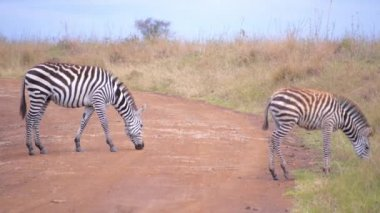 Zebras on dirt road in Africa — Stock Video