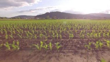 AERIAL: Young corn growing on a big agricultural field in the beautiful morning — Stock Video