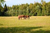 Cavalos na fazenda — Foto Stock