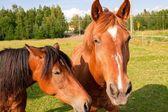 Horses on the Farm — Stock Photo