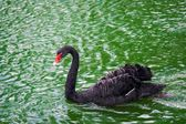 Black swan in the lake — Stock Photo