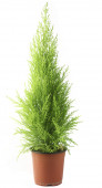 Domestic cypress isolated over white — Stockfoto