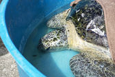 Turtle ready to go back home — Stockfoto