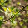 Fresh green leaves, currant bushes. — Stock Photo #70437955