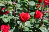 茂みにバラ — ストック写真
