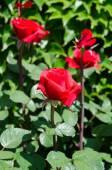 Roses on a bush — Stock Photo