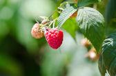 Raspberries. Growing Organic Berries Closeup. Ripe Raspberry In — Stock Photo