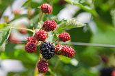 Usine de Blackberry avec baies — Photo