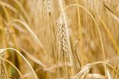 Pšenice a pšeničného — Stock fotografie