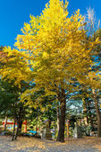 Yellowy Ginkgo tree — Stock Photo