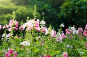 Pink and white hollyhock flower — Stock Photo