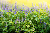 Meadow with blooming Blue Salvia herbal flowers — Stock Photo
