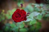 Nahaufnahme von roten rose — Stockfoto