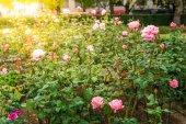 Bereich der rosa rosen — Stockfoto