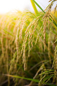 Closeup Paddy rice — Stock Photo