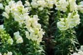 White lupine flower — Stock Photo