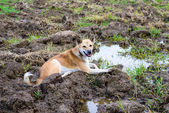 Dog, crouching in the field — Stock Photo