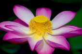 Lotus flower in bloom. Nelumbo nucifera is botanical name for lotus plant — Stock Photo