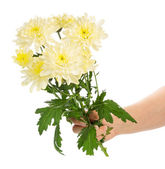 Hand holding chrysanthemums — Stock fotografie