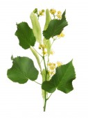Linden blooming flowers — Stock Photo