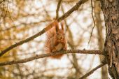 Red squirrel on branch — Stock Photo