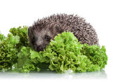 Hedgehog in lettuce leaves — Stock Photo