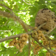 Wasps building a nest on wollongong tree,Thailand. — Stock Video #53581865
