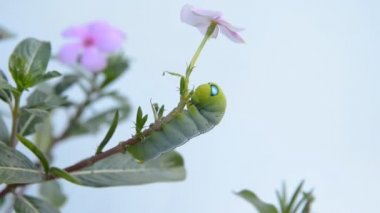 Caterpillar on rose periwinkle branch blowing in the wind — Stock Video
