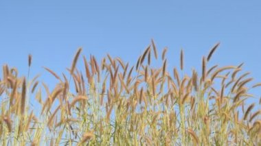 Wind blowing hairy fountain grass in the morning. — Stock Video
