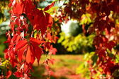Red Virginia creeper in autumn — Stock Photo