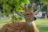 The recumbent deer on the ground — Stock Photo