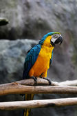 Lovely macaws on the branch — Stock Photo