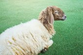 Shaggy sheep on the grass floor — Stock Photo