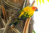Lovely colorful Sun Conure parrot in the nature — Stock Photo