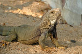 Iguana dragon on the ground — Stock Photo