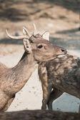 Masses of deer — Stock Photo