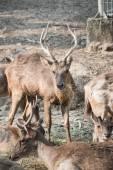 Masses of deer — 图库照片