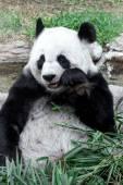 可愛いパンダが竹を食べる — ストック写真