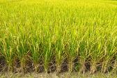 Field rice of thailand  — Stock Photo