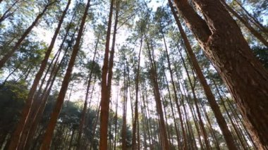 Pine forest with sunlight — Stockvideo