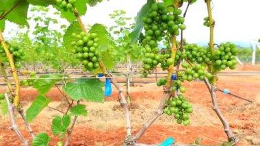 Plants growing at vineyard — Stok video
