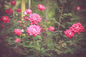 Pink rose flowers — Stock Photo